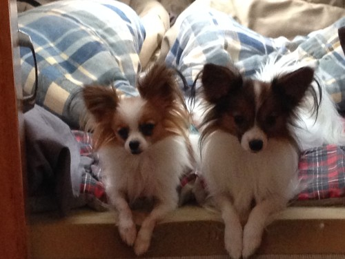Gizmo & Twix in bed